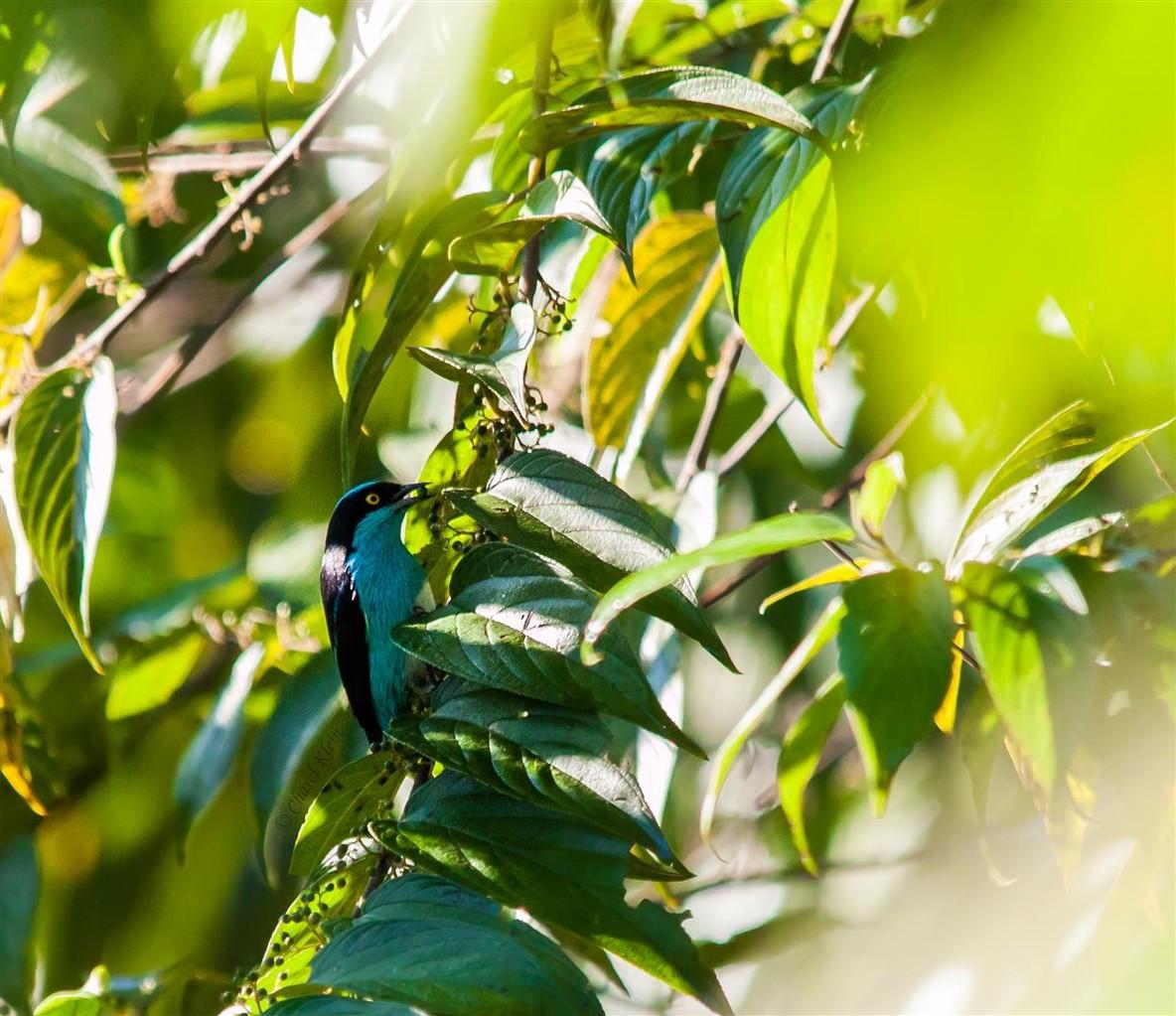 Black-faced Dacnis     (Dacnis lineata) -- Peru / Centro De Rescate Taricaya
