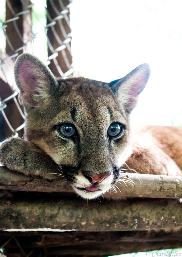 Cougar -- Peru / Centro De Rescate Taricaya