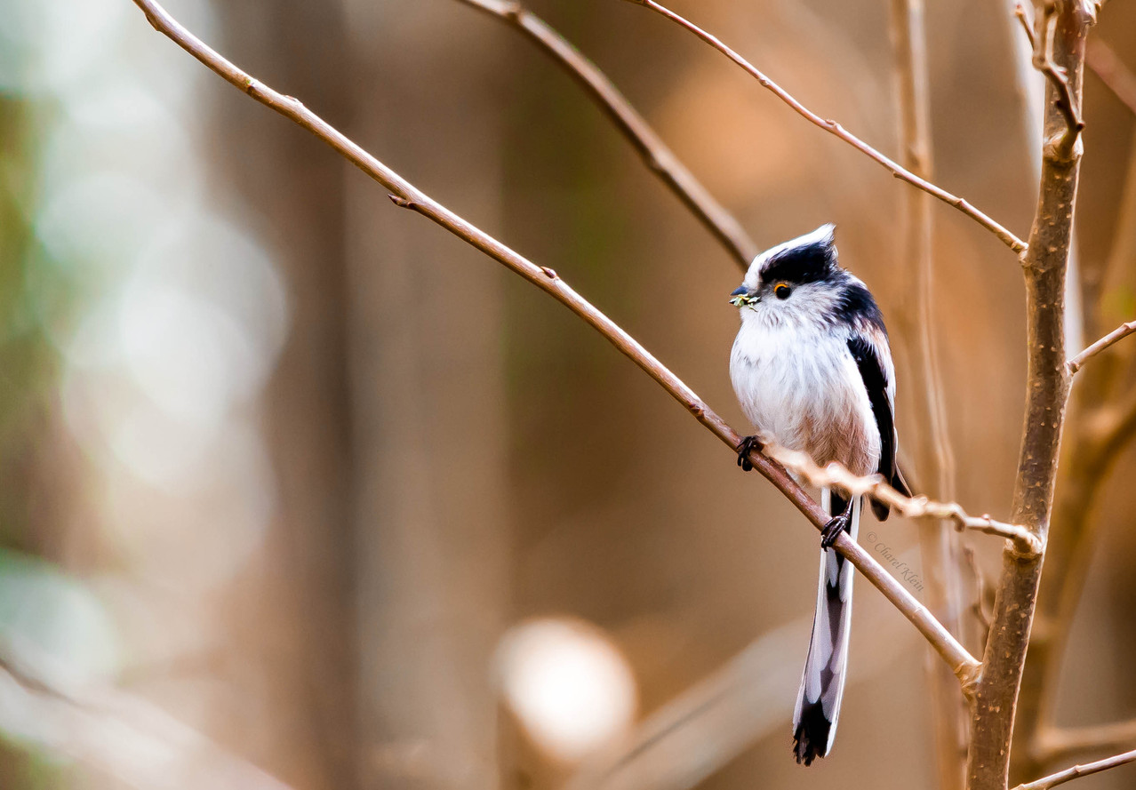 Long-tailed Tit  (Aegithalos caudatus)  -- Luxembourg