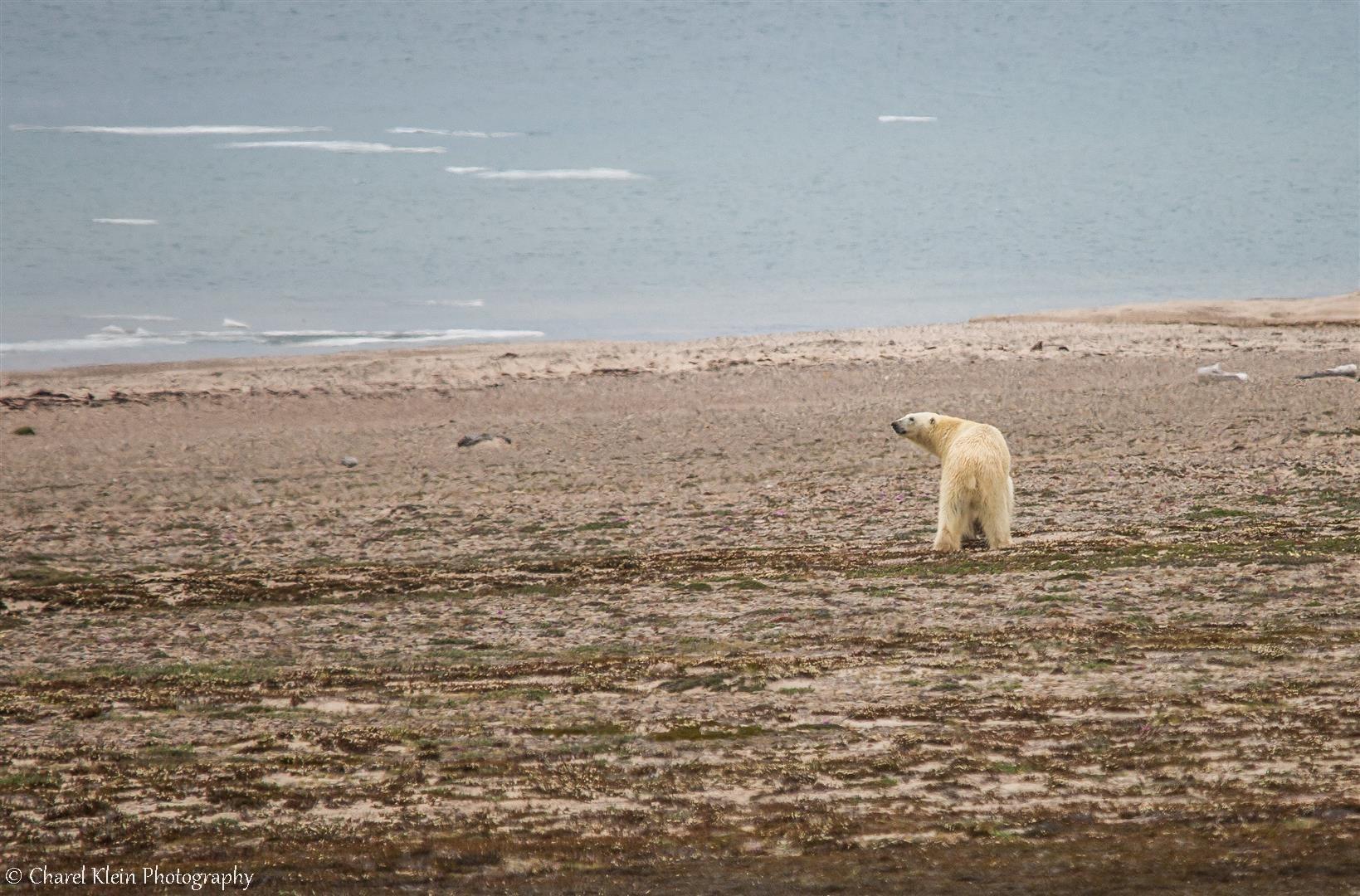 Next to our camp.. Polar bear