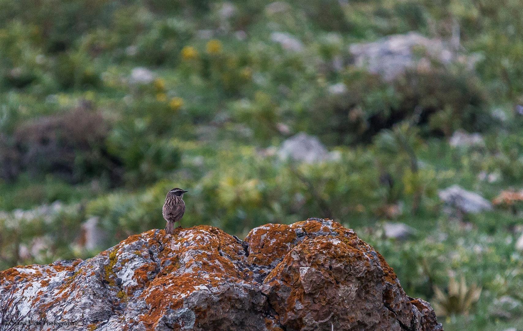 Radde's Accentor (Prunella ocularis) -- Birdingtrip Turkey -- May 2015