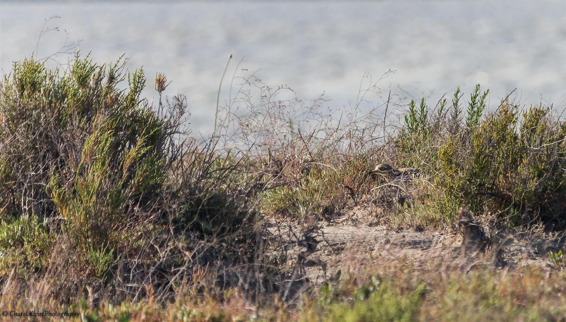 (Stone-curlew (Burhinus oedicnemus) -- Birdingtrip Turkey -- May 2015