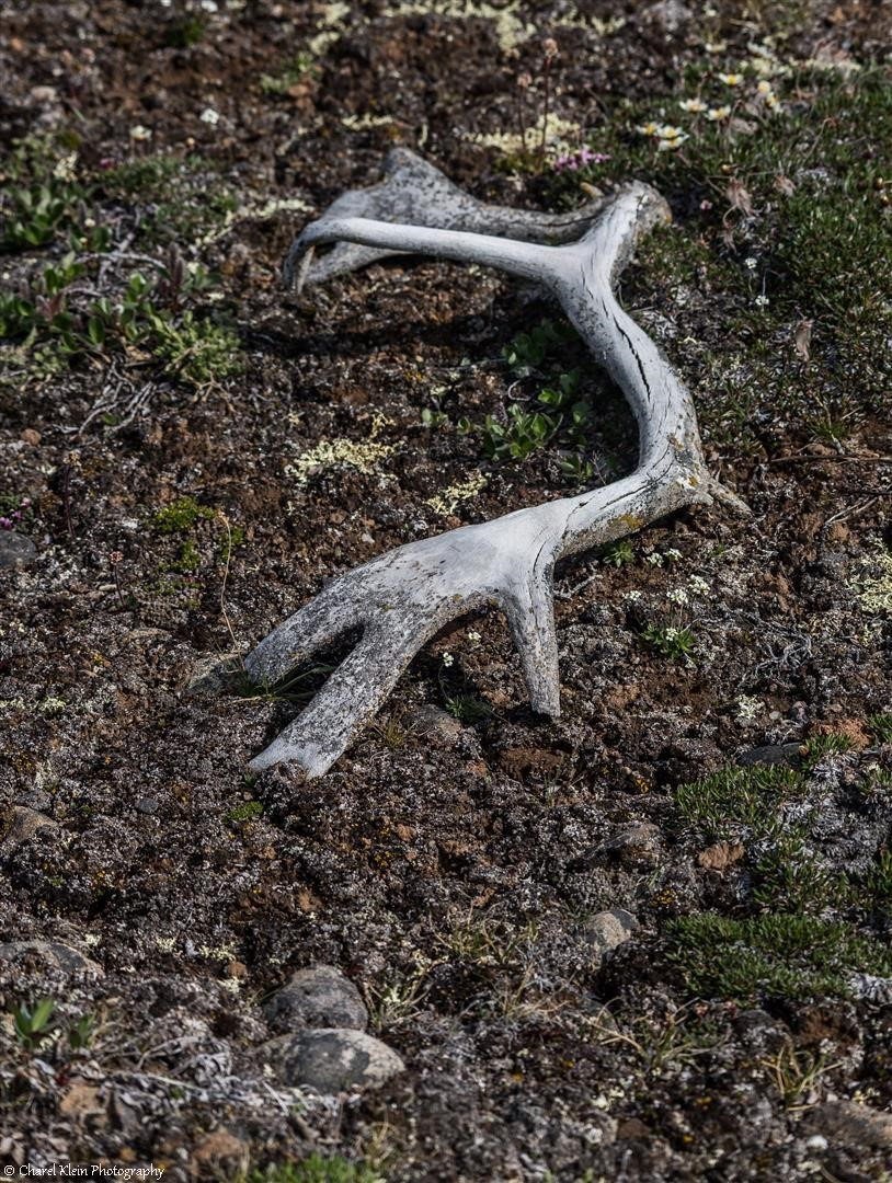 Tundra - old caribou antlers