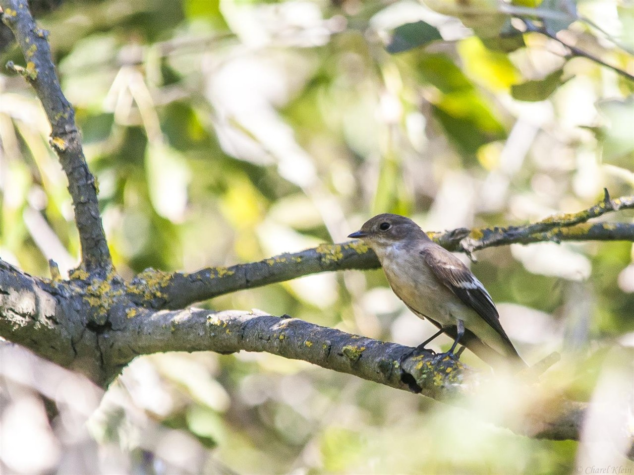 European Pied Flycatcher        (Ficedula hypoleuca)   --  Camargue / France