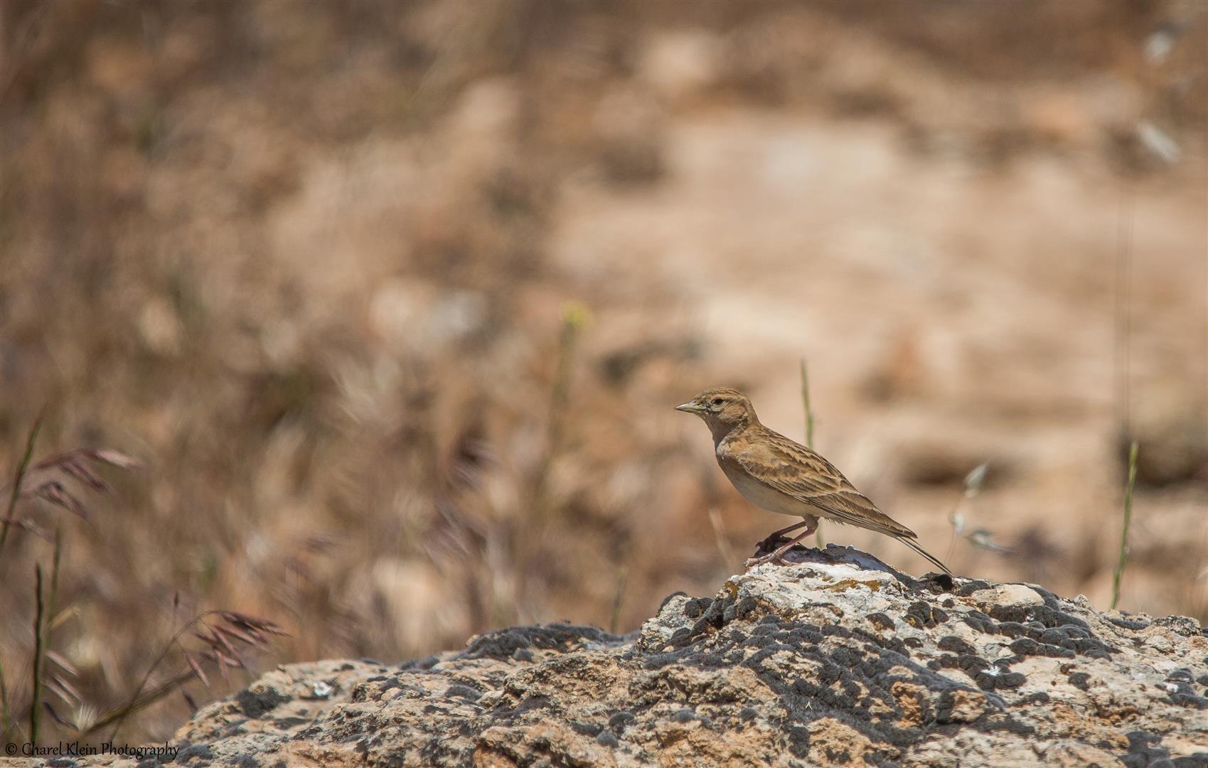 Lesser Short-toed Lark (Calandrella rufescens) -- Birdingtrip Turkey 2015