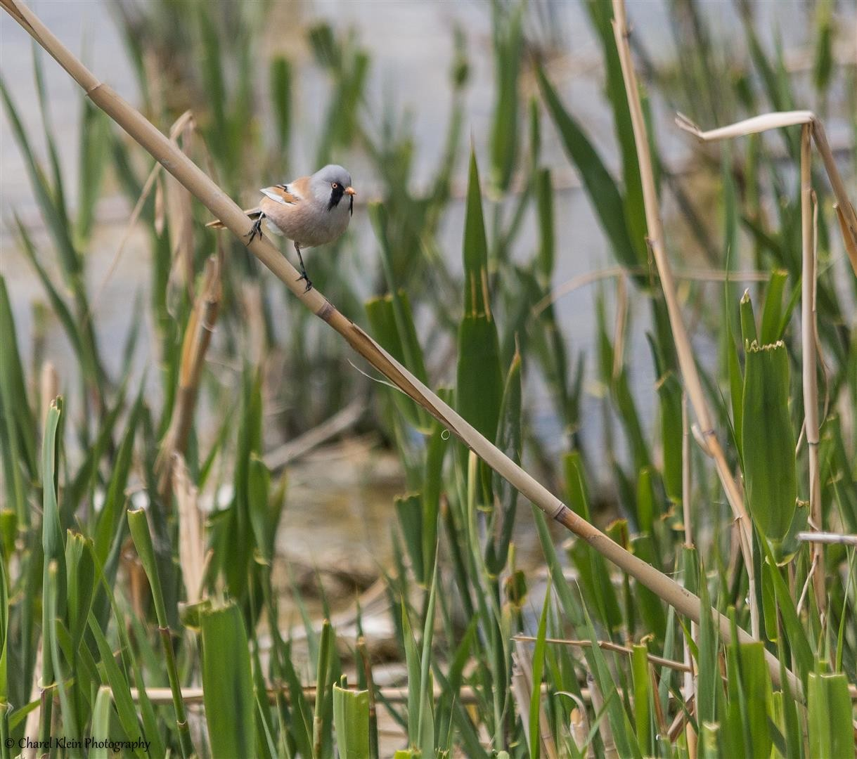 Bearded Reedling (Panurus biarmicus) -- Birdingtrip Turkey -- May 2015