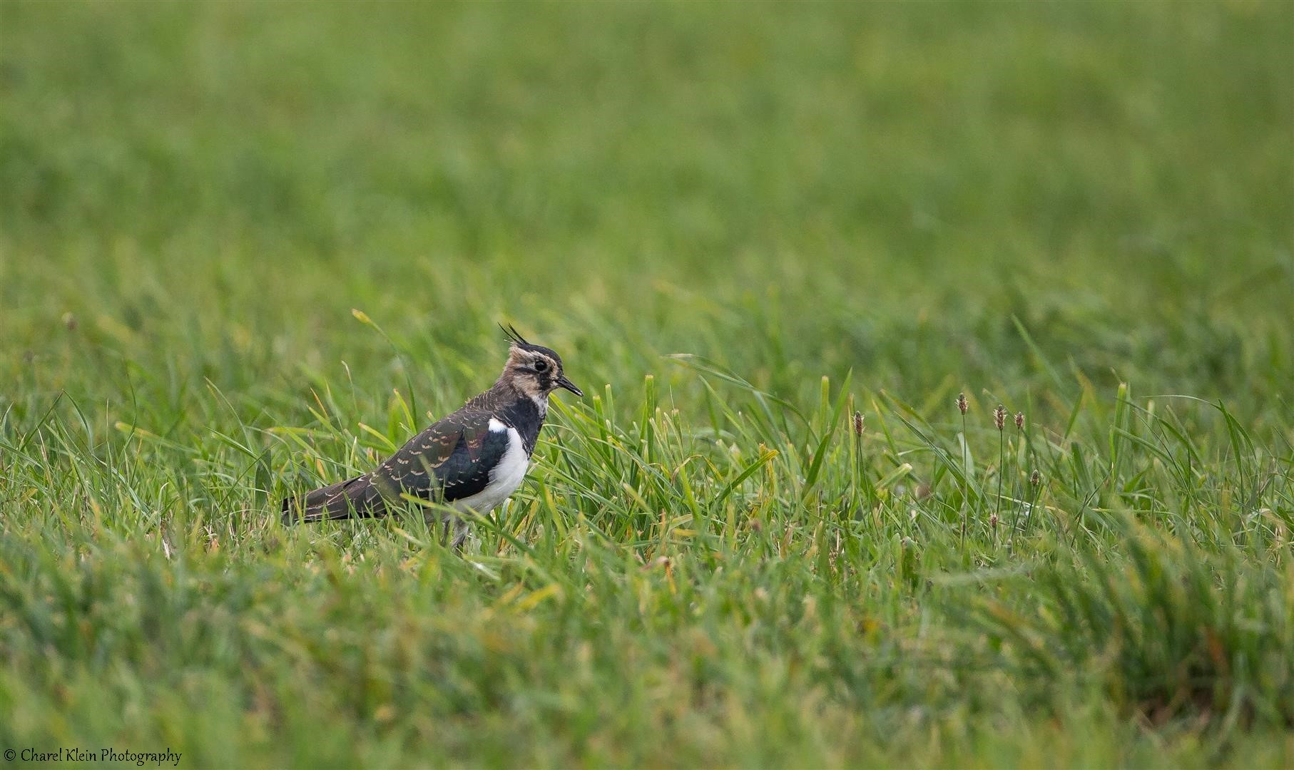 Northern Lapwing (Vanellus vanellus) -- Darss / Germany -- September 2014