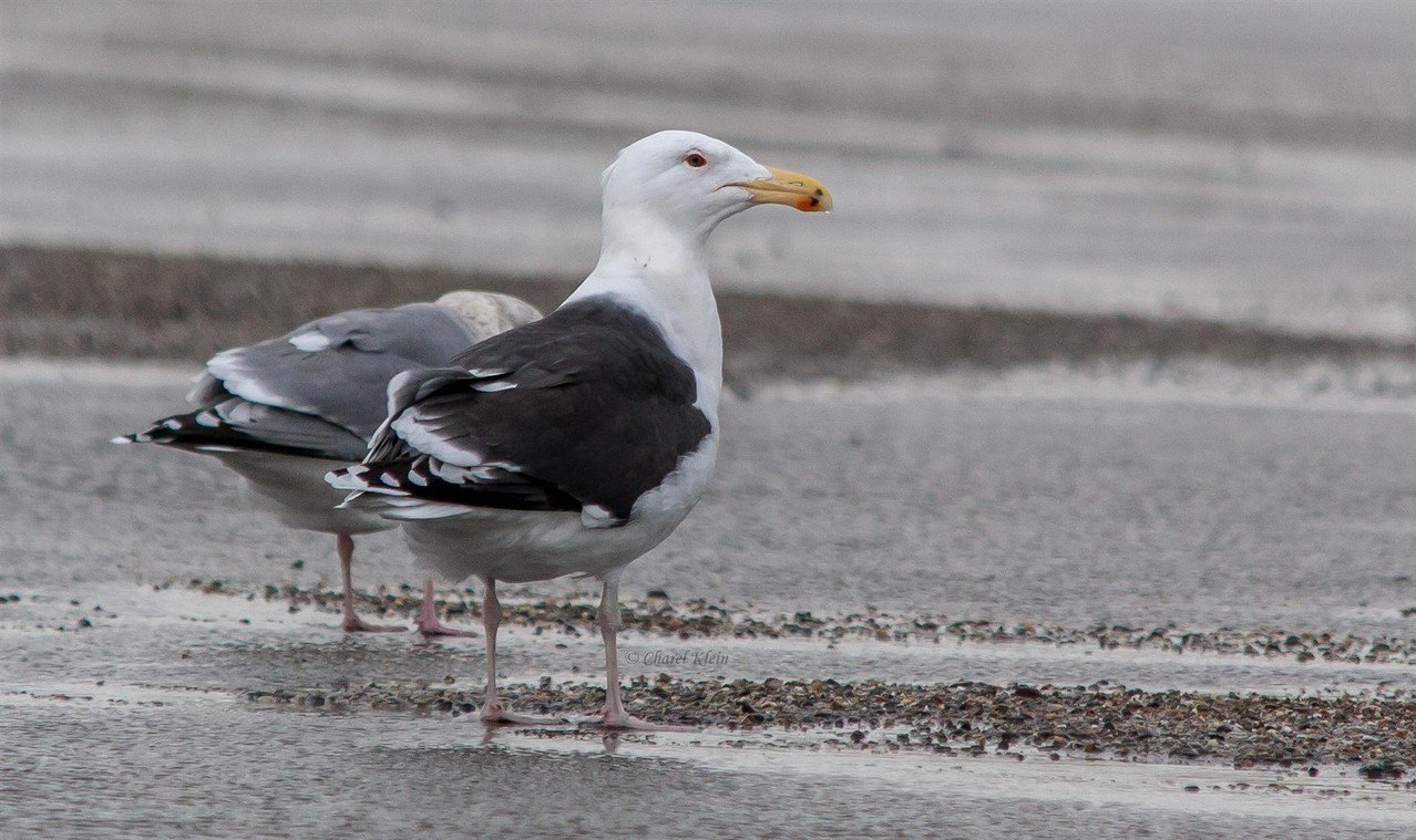 Great Black-backed gull (Larus marinus) -- Zeeland / Netherlands -- December 2012