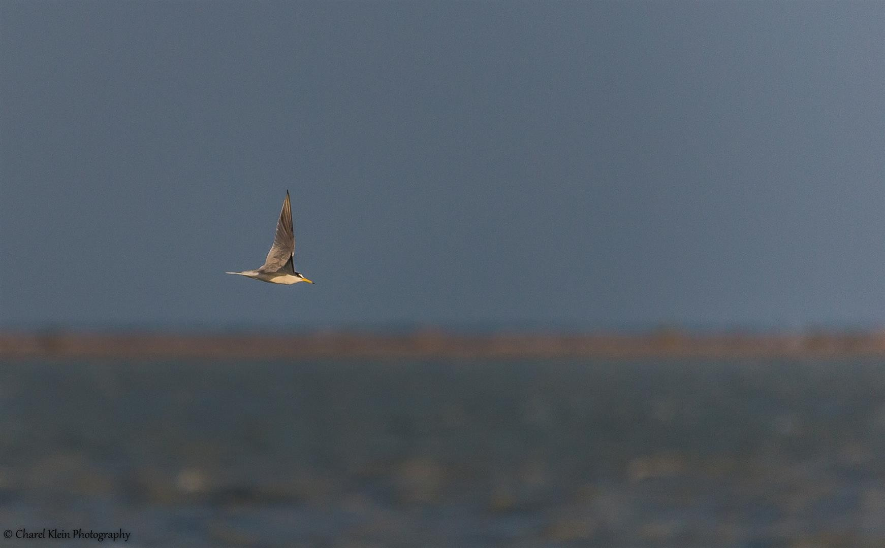 Little Tern (Sternula albifrons) -- Birdingtrip Turkey -- May 2015