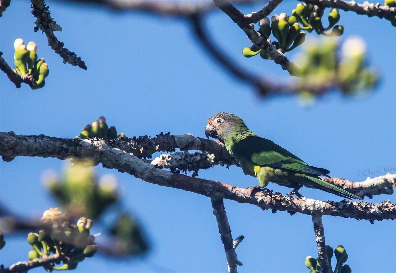 Dusky-headed Parakeet (Aratinga weddellii)  -- Peru / Centro De Rescate Taricaya