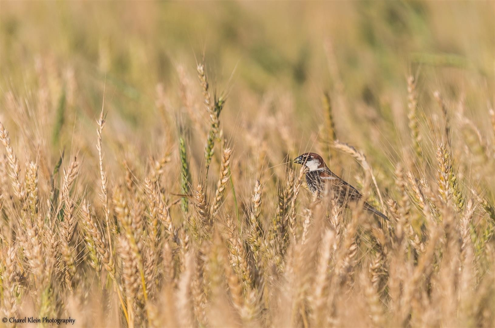 Spanish Sparrow (Passer hispaniolensis) -- Birdingtrip Turkey 2015