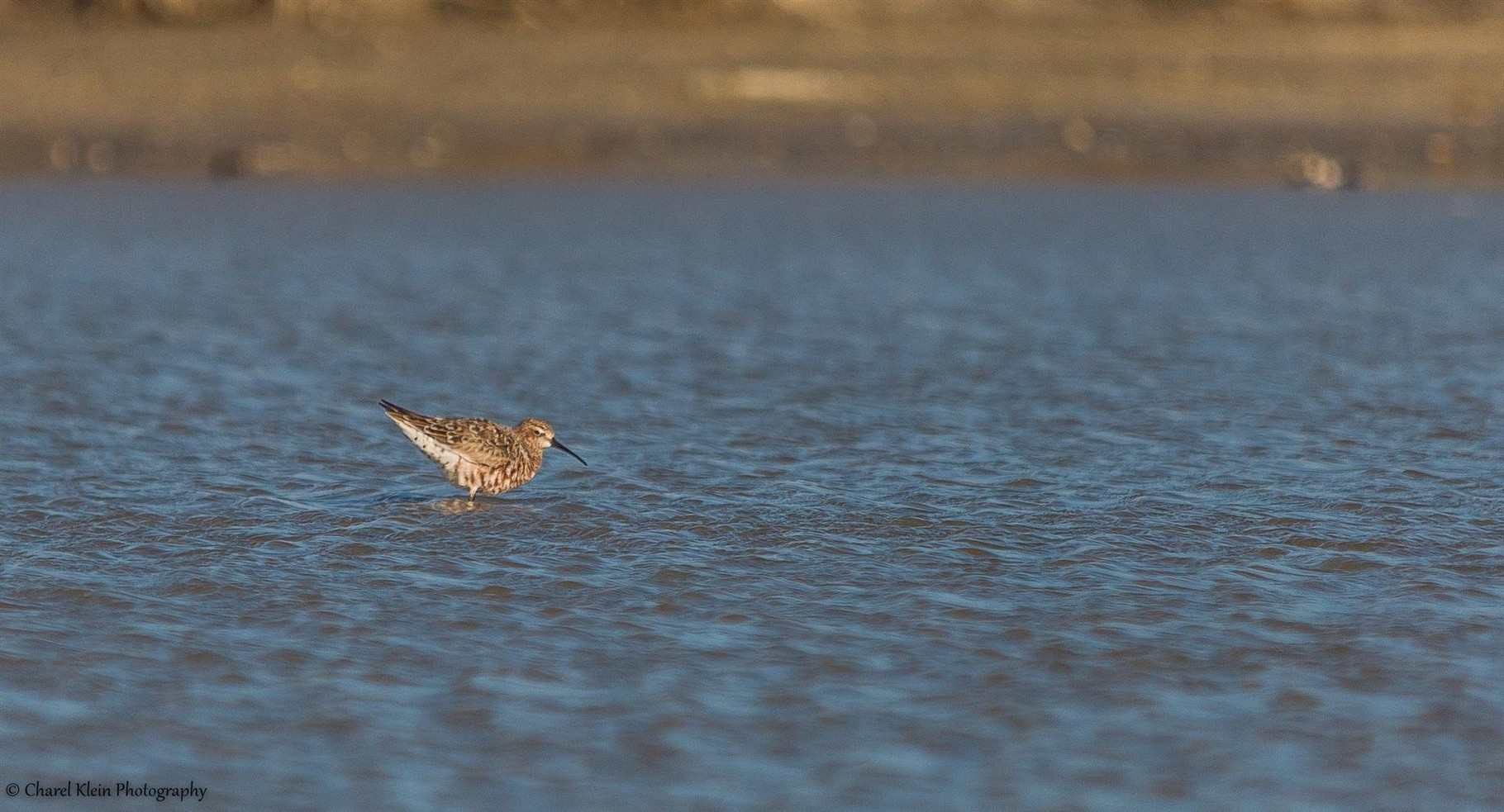 Curlew Sandpiper (Calidris ferruginea) -- Birdingtrip Turkey -- May 2015