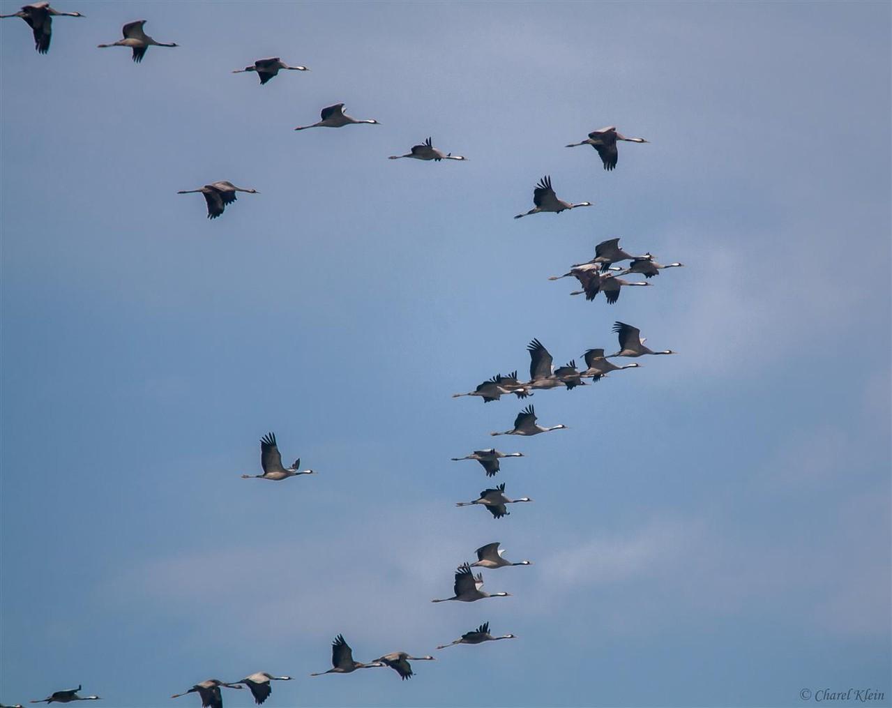Common Crane   (Grus grus) -- Luxembourg