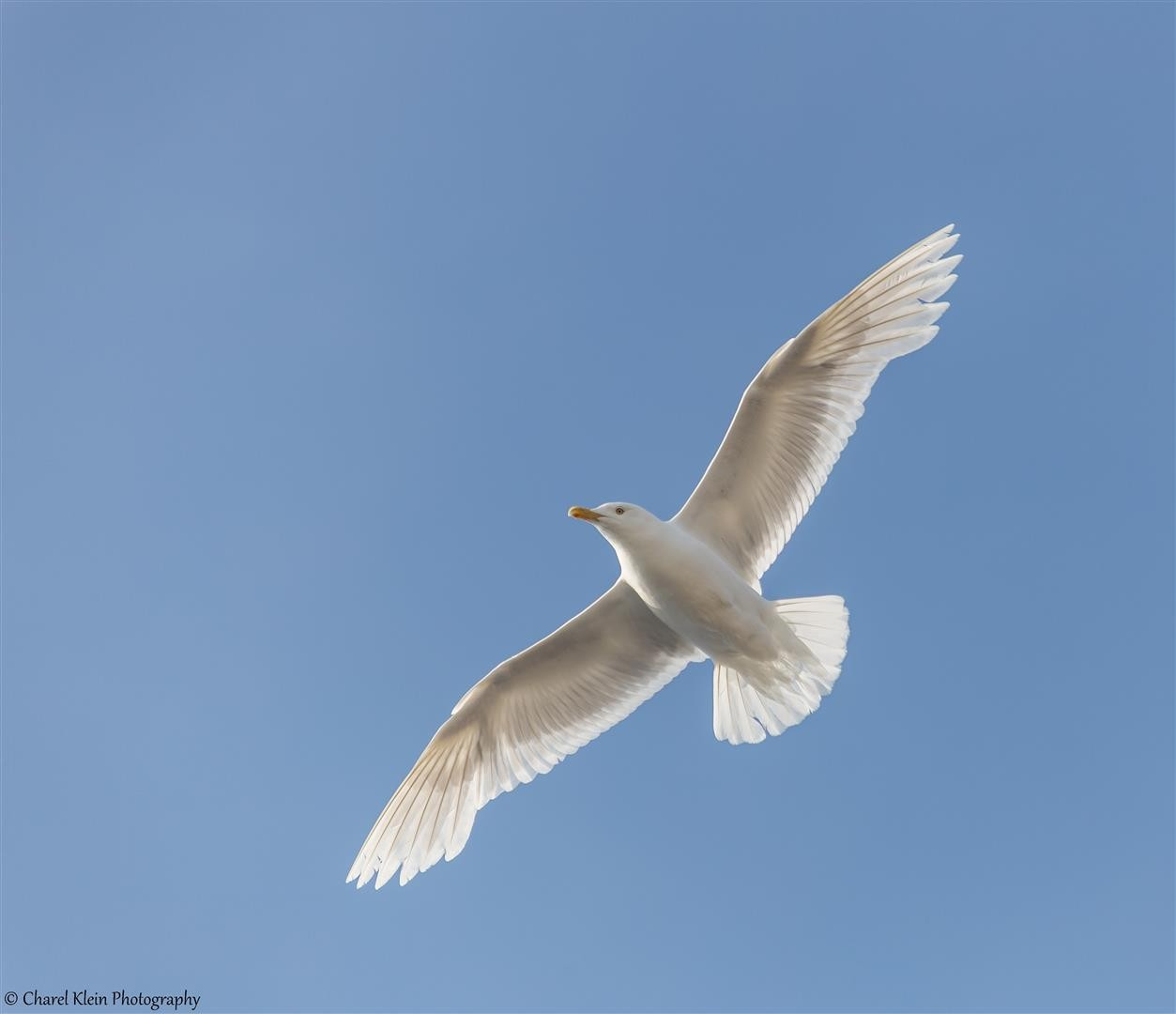 Glaucous Gull (Larus hyperboreus) -- Traill / Karupelv Vally Project / Greenland -- 2015