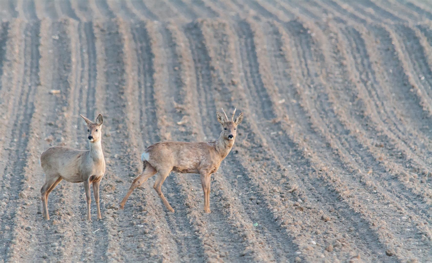 Roe deer  (Capreolus capreolus) -- France 2014