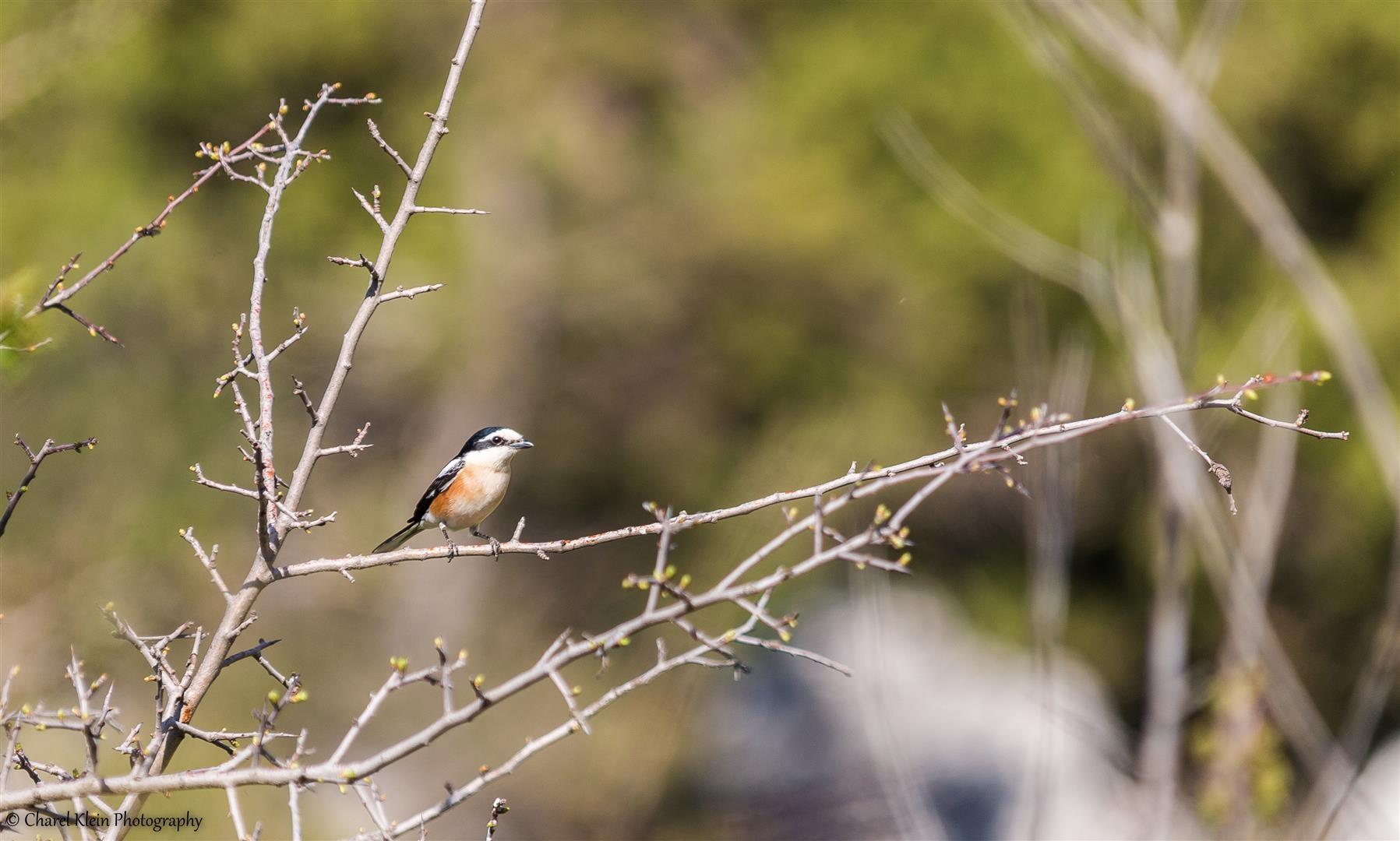Masked Shrike (Lanius nubicus) -- Birdingtrip Turkey 2015