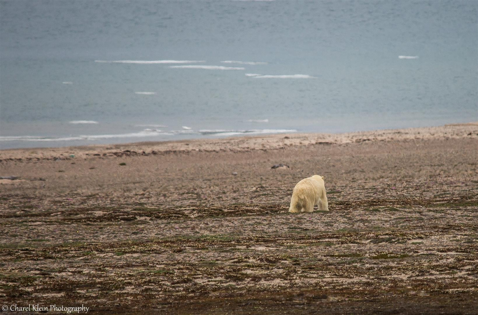 Polar bear    (Ursus maritimus)   -- Traill / Karupelv Valley Project / Greenland   --   2015