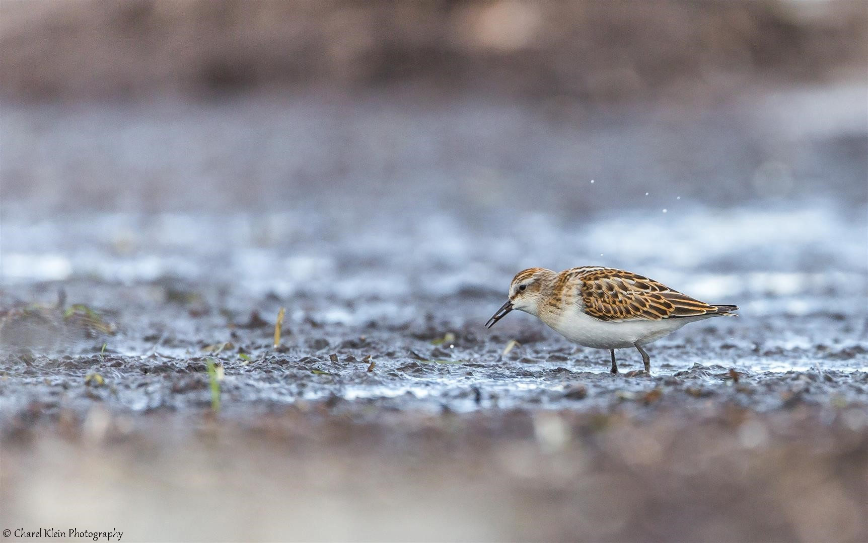 Little Stint   (Calidris minuta)   --   Darss / Germany   --   2014
