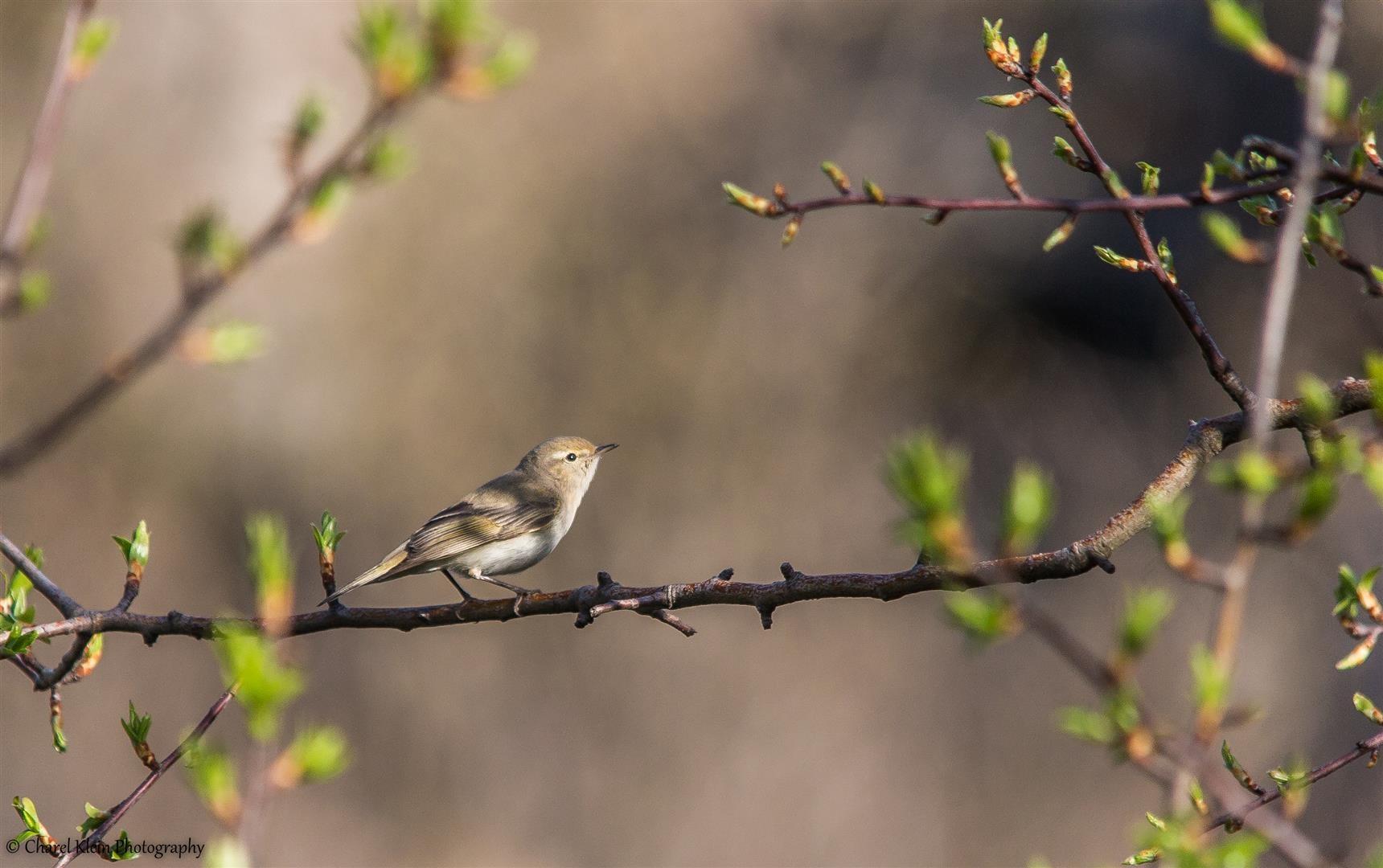 Eastern Bonelli's Warbler    (Phylloscopus orientalis)    -- Birdingtrip Turkey 2015