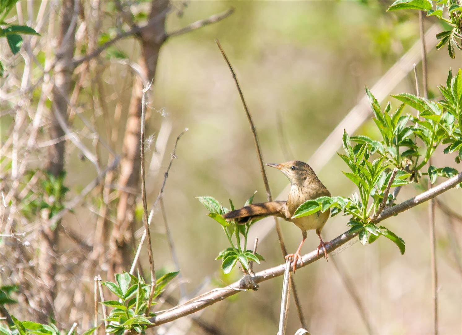 Common Grasshopper Warbler    (Locustella naevia)  -- Luxembourg