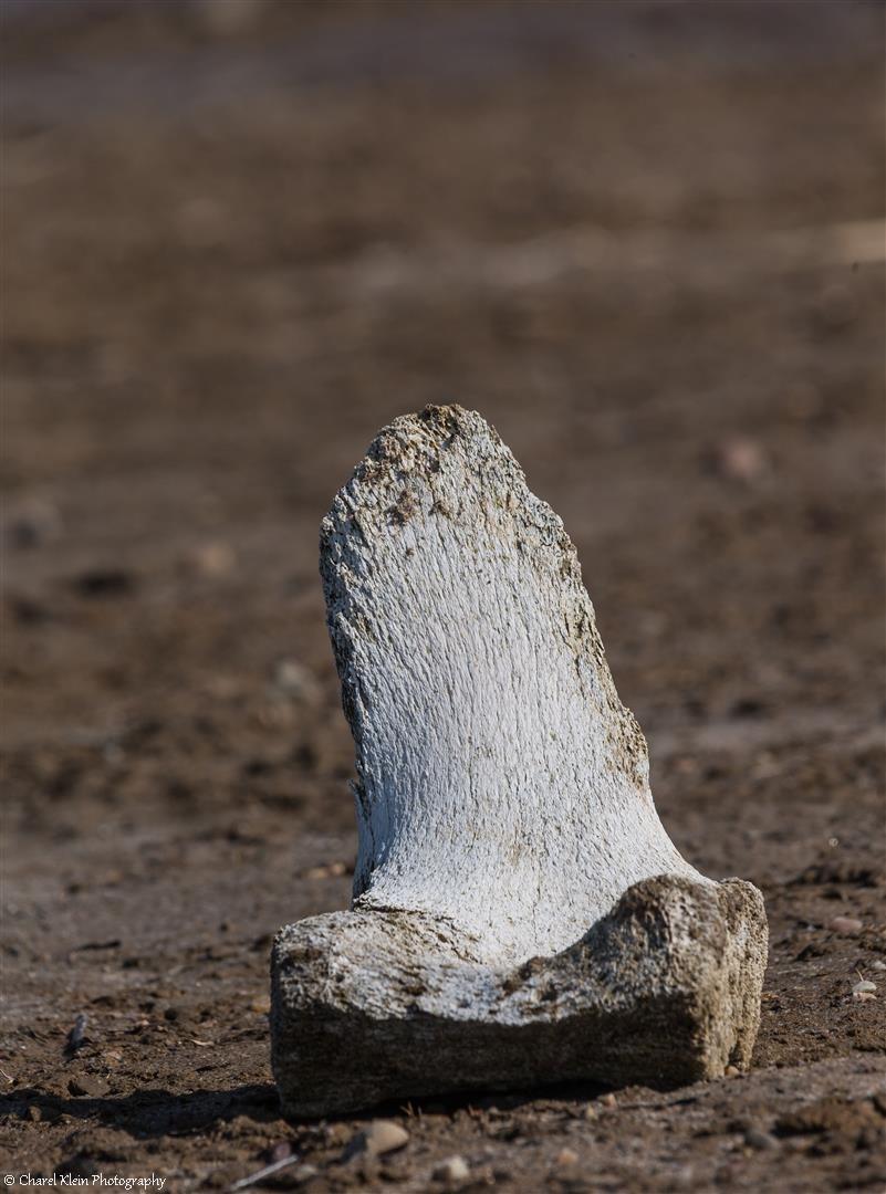 Exploring Tundra - old wale bones