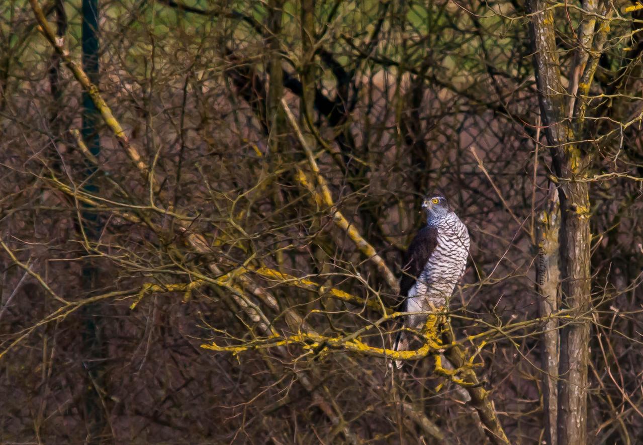 Northern Goshawk    (Accipiter gentilis)   --  Luxembourg