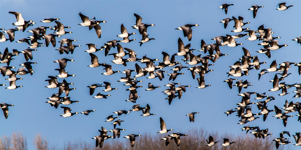 Barnacle Goose  (Branta leucopsis) --  Zeeland / Netherlands -- December 2012