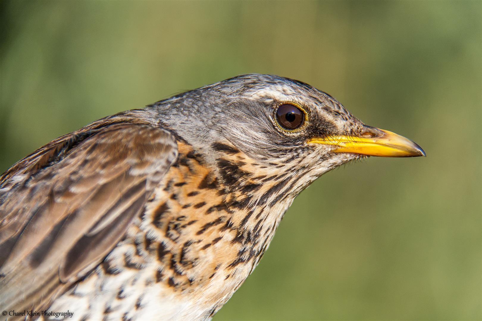 <Birdringing> Fieldfare    (Turdus pilaris) -- Luxembourg
