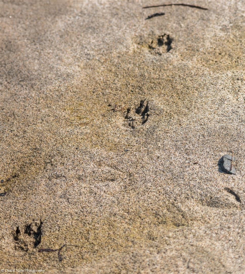 Exploring Tundra - Arctic fox footprints