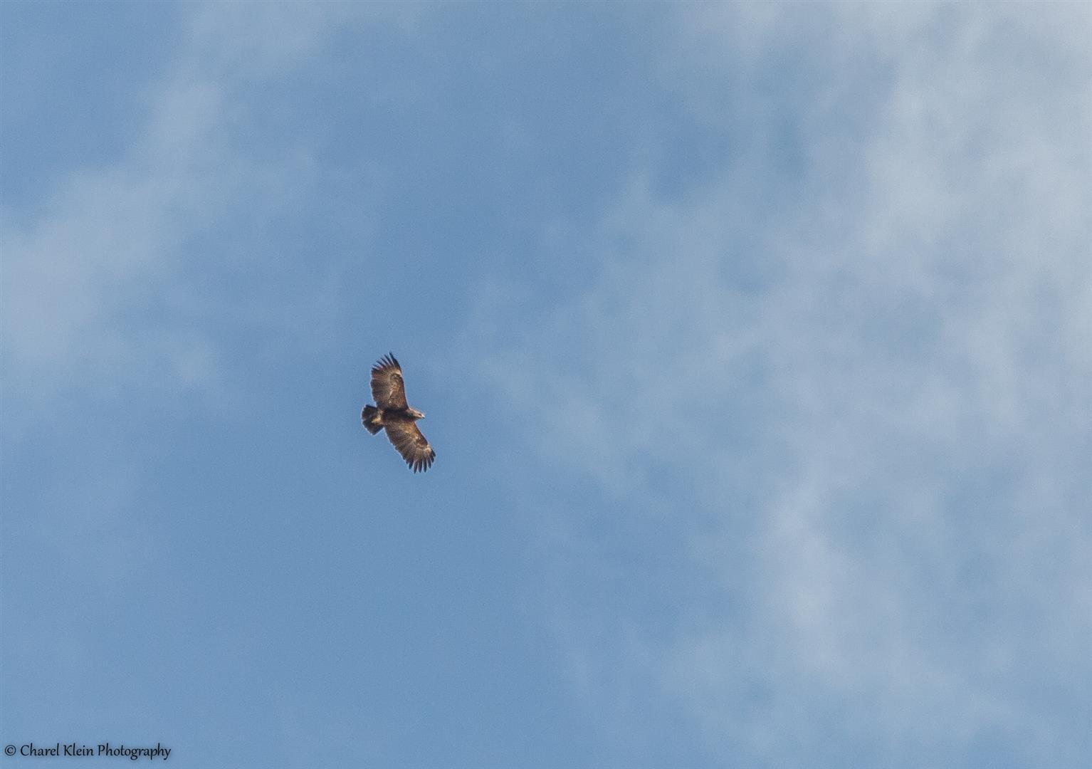 Lesser Spotted Eagle (Aquila pomarina) -- Birdingtrip Turkey 2015