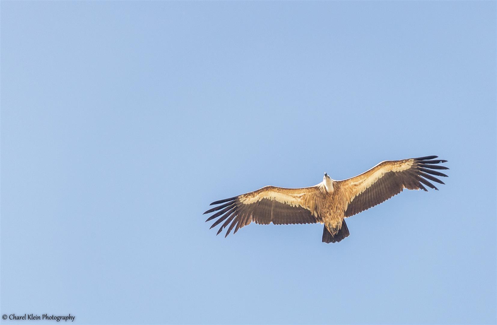 Griffon Vulture (Gyps fulvus) -- Birdingtrip Turkey 2015