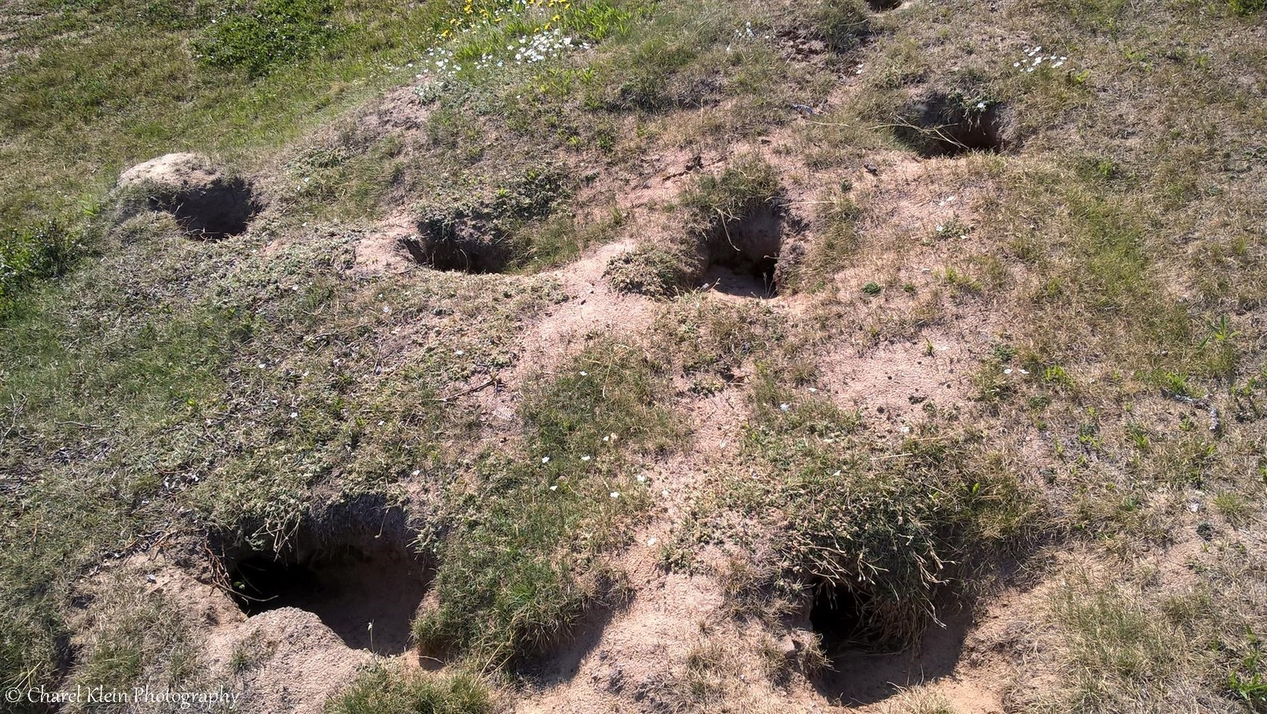 Arctic fox burrow