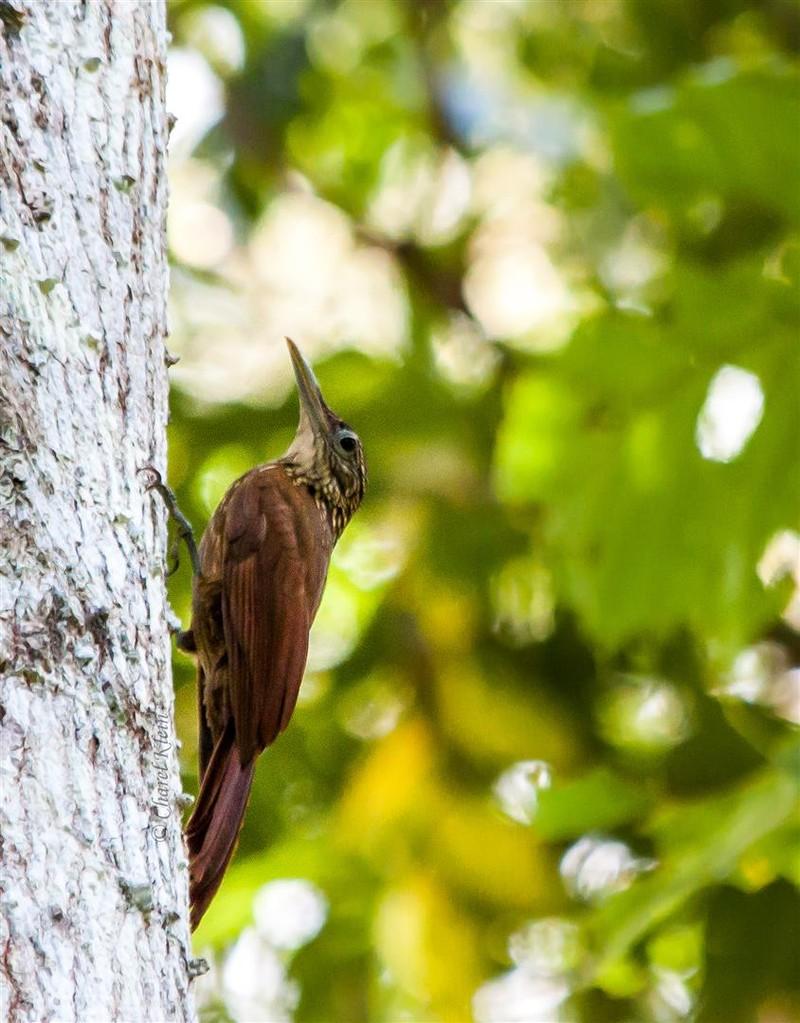 Long-tailed Woodcreeper (Deconychura longicauda) -- Peru / Centro De Rescate Taricaya