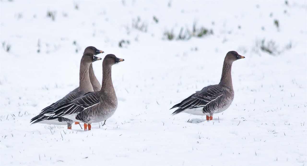 Bean Goose (Anser fabalis) -- Luxembourg