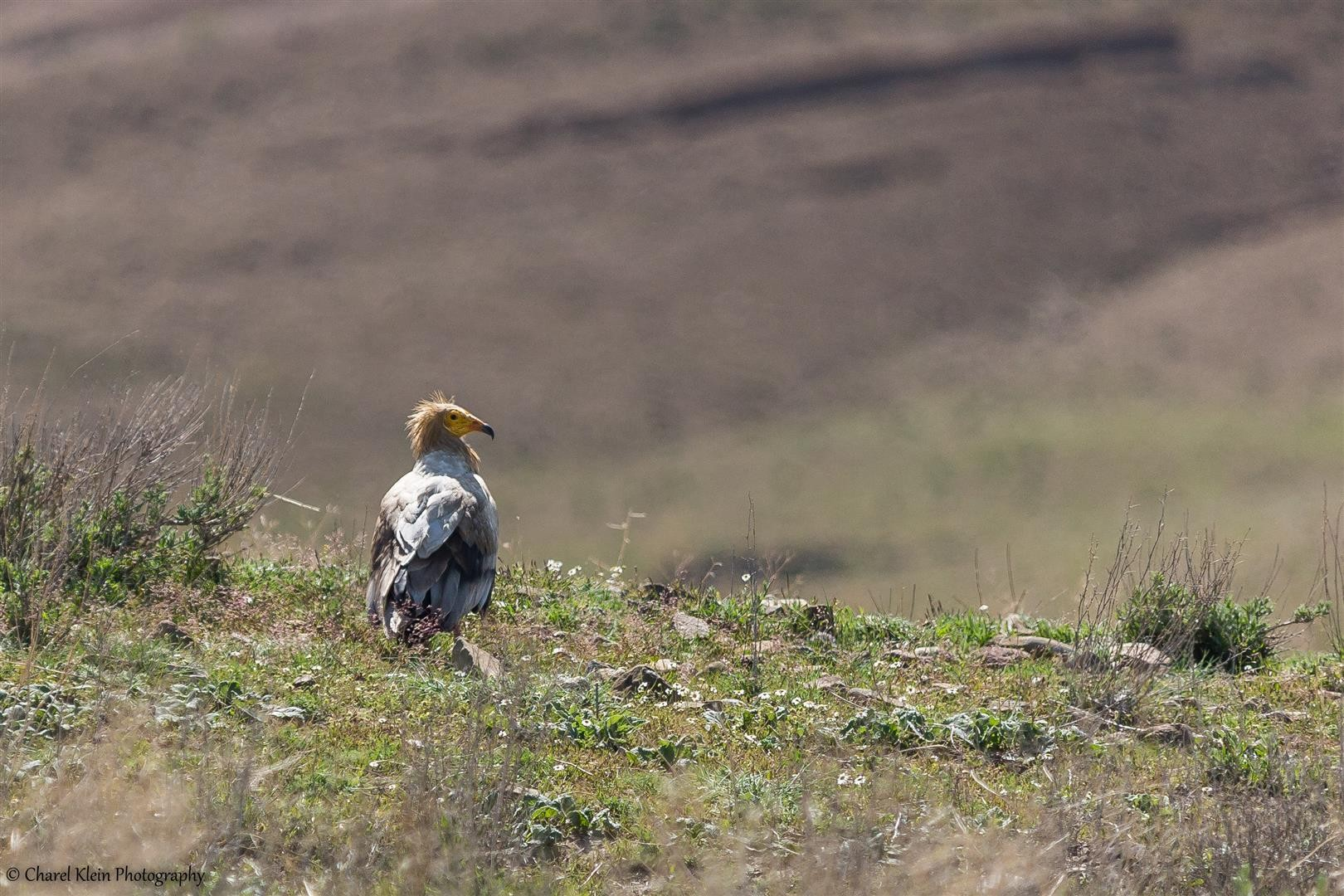 Egyptian Vulture (Neophron percnopterus) -- Birdingtrip Turkey 2015
