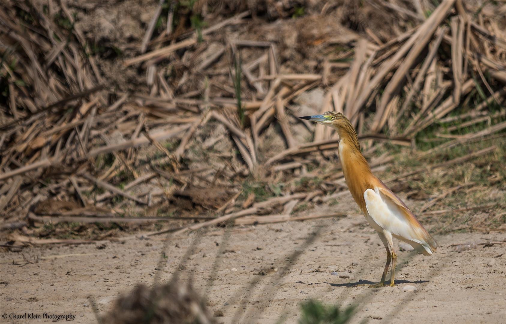 Squacco Heron (Ardeola ralloides) -- Birdingtrip Turkey 2015
