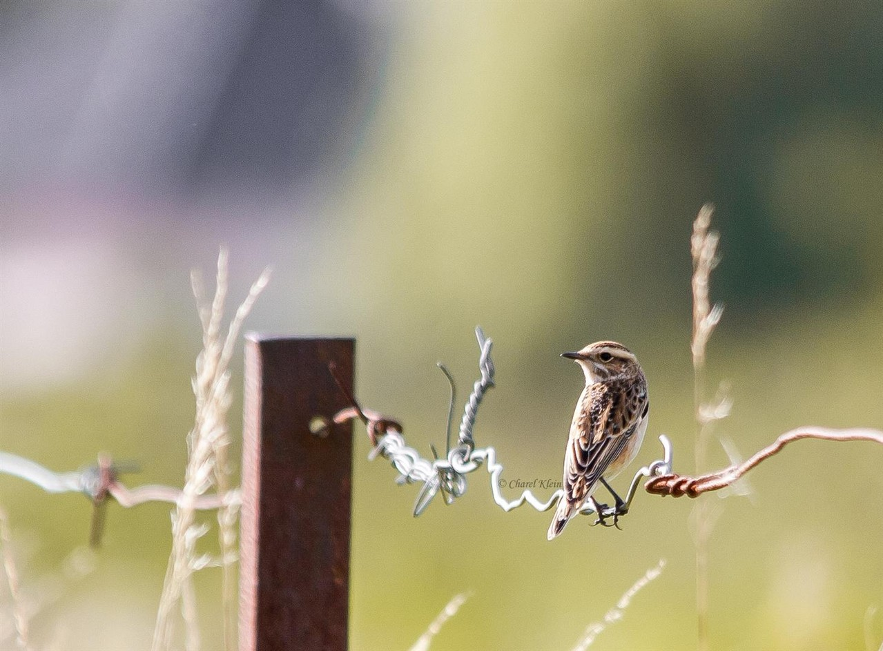 Whinchat      (Saxicola rubetra)     --  Luxembourg