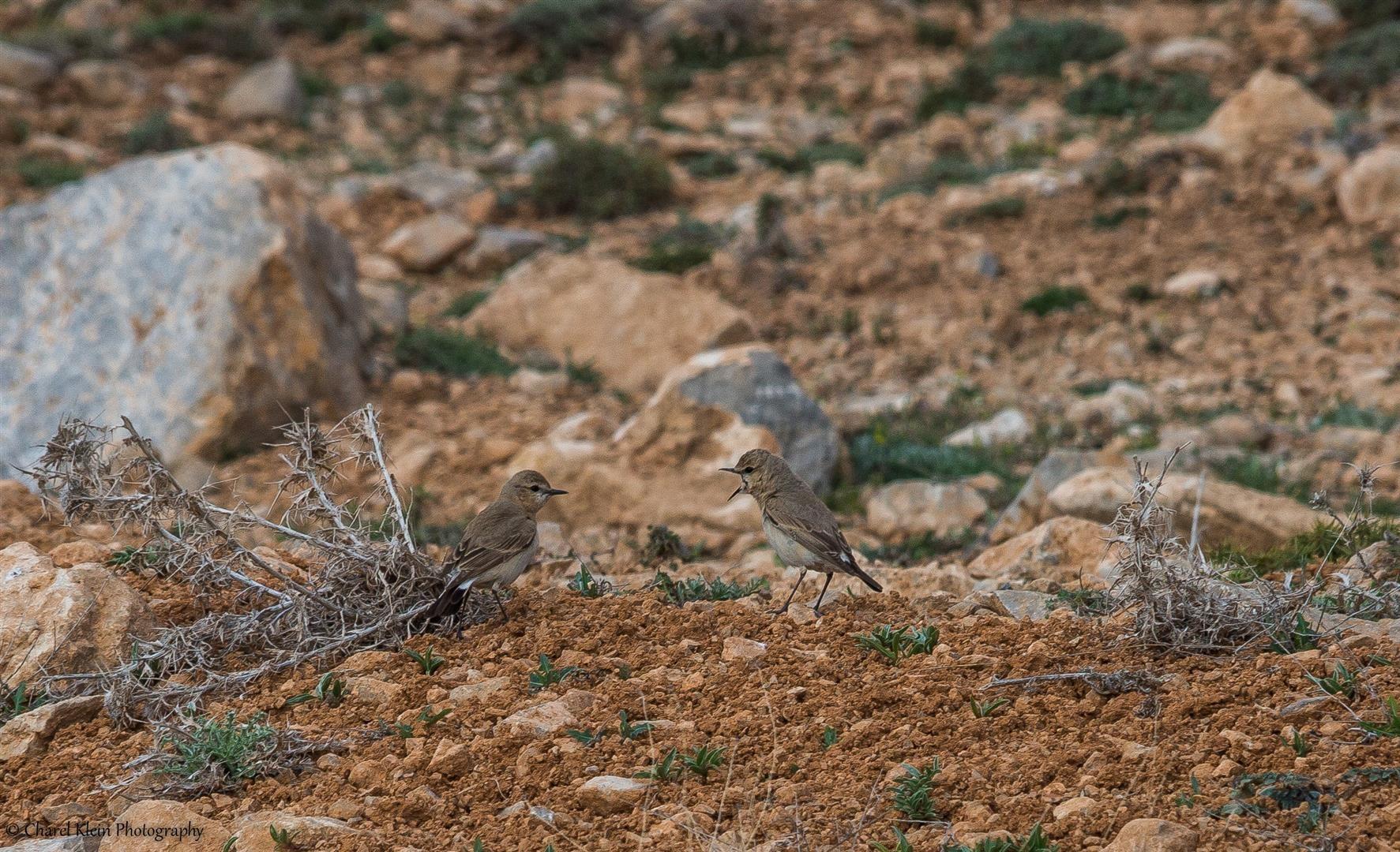 Isabelline Wheatear    (Oenanthe isabellina)    --    Birdingtrip Turkey 2015
