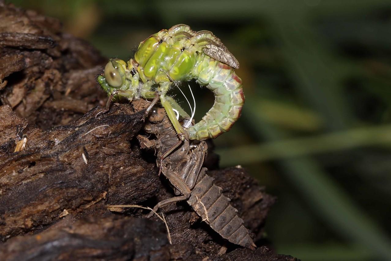 Grüne Flussjungfer, Ophiogomphus cecilia, Weibchen beim Schlupf (3).