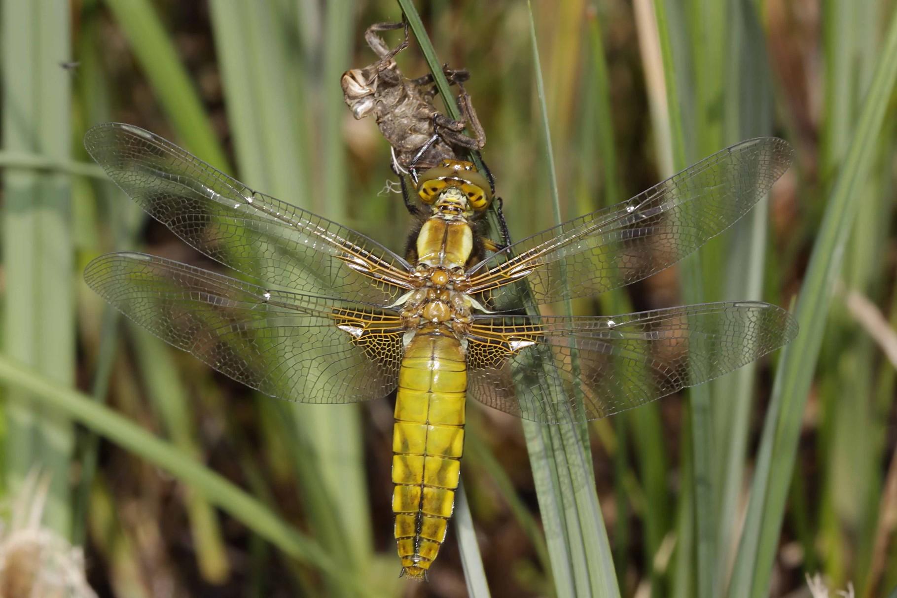Plattbauch, Libellula depressa, Weibchen kurz vor dem Jungfernflug.