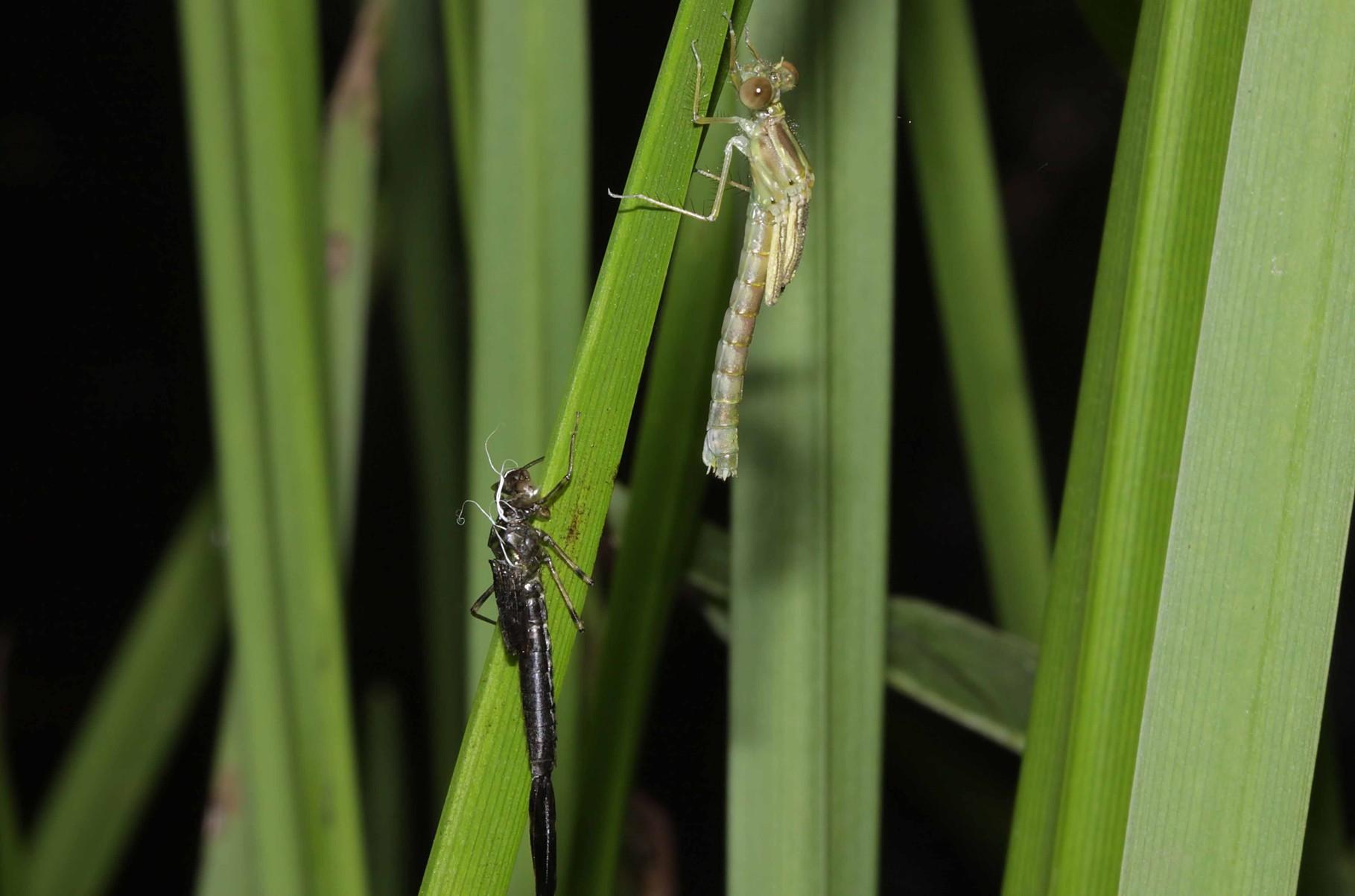 Gemeine Weidenjungfer, Chalcolestes viridis, Weibchen beim Schlupf (2).