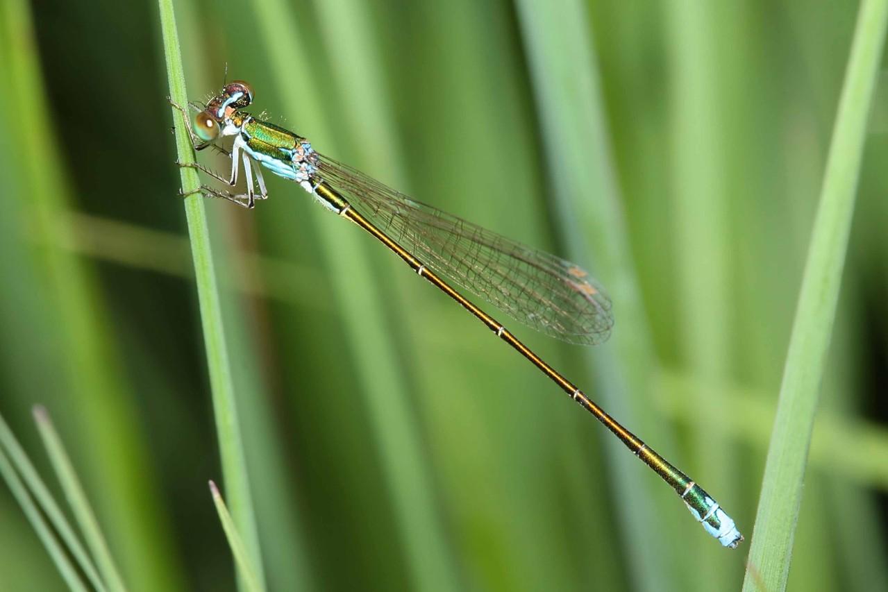 Ein Männchen der Zwerglibelle, Nehalennia speciosa.