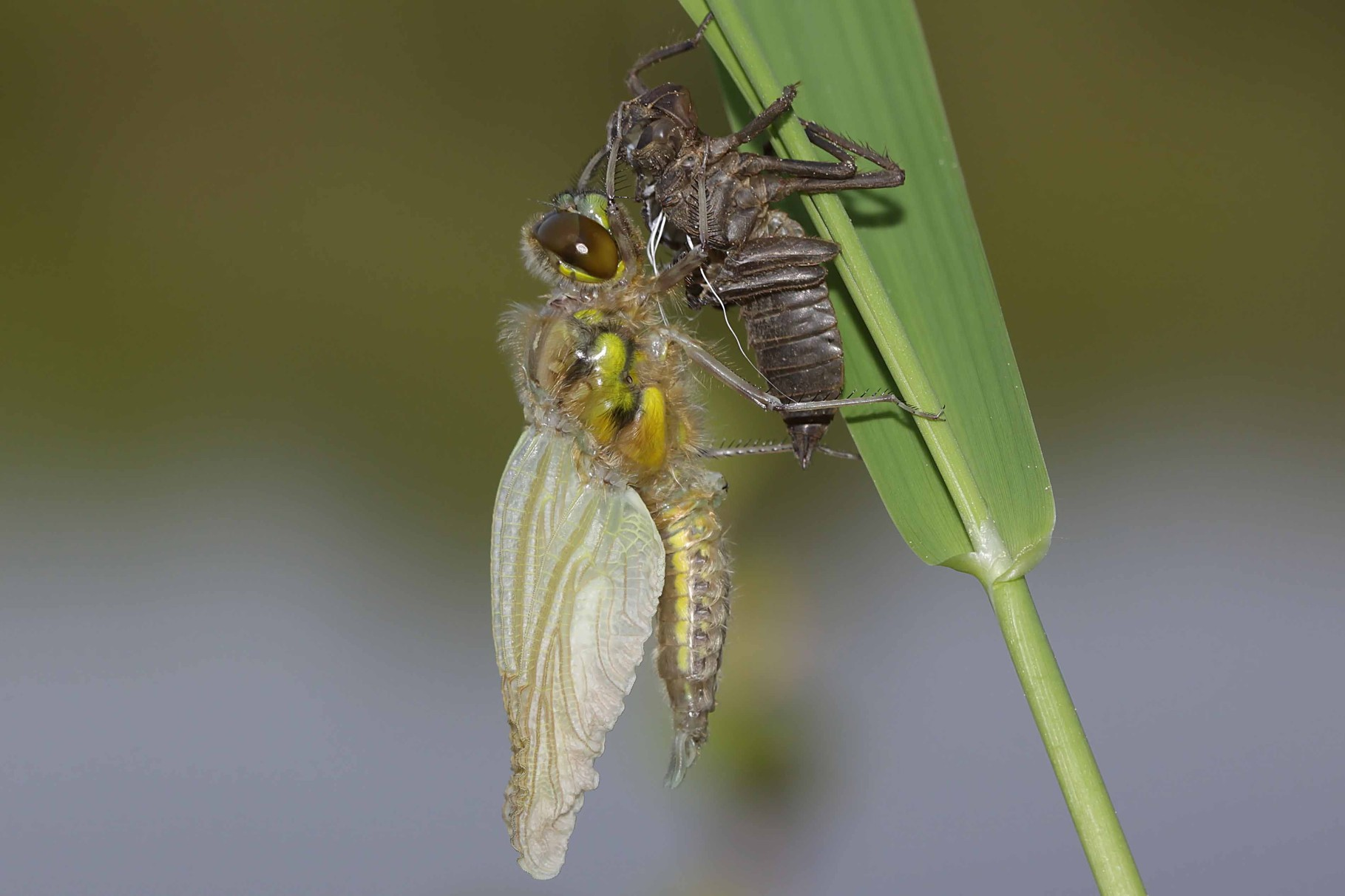 Vierfleck, Libellula quadrimculata, Männchen, beim Schlupf (3).