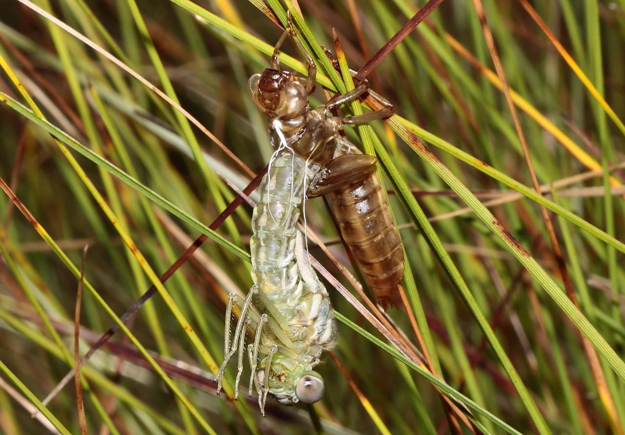Hochmoor-Mosaikjungfer, Aeshna subarctica, Weibchen beim Schlupf (1).