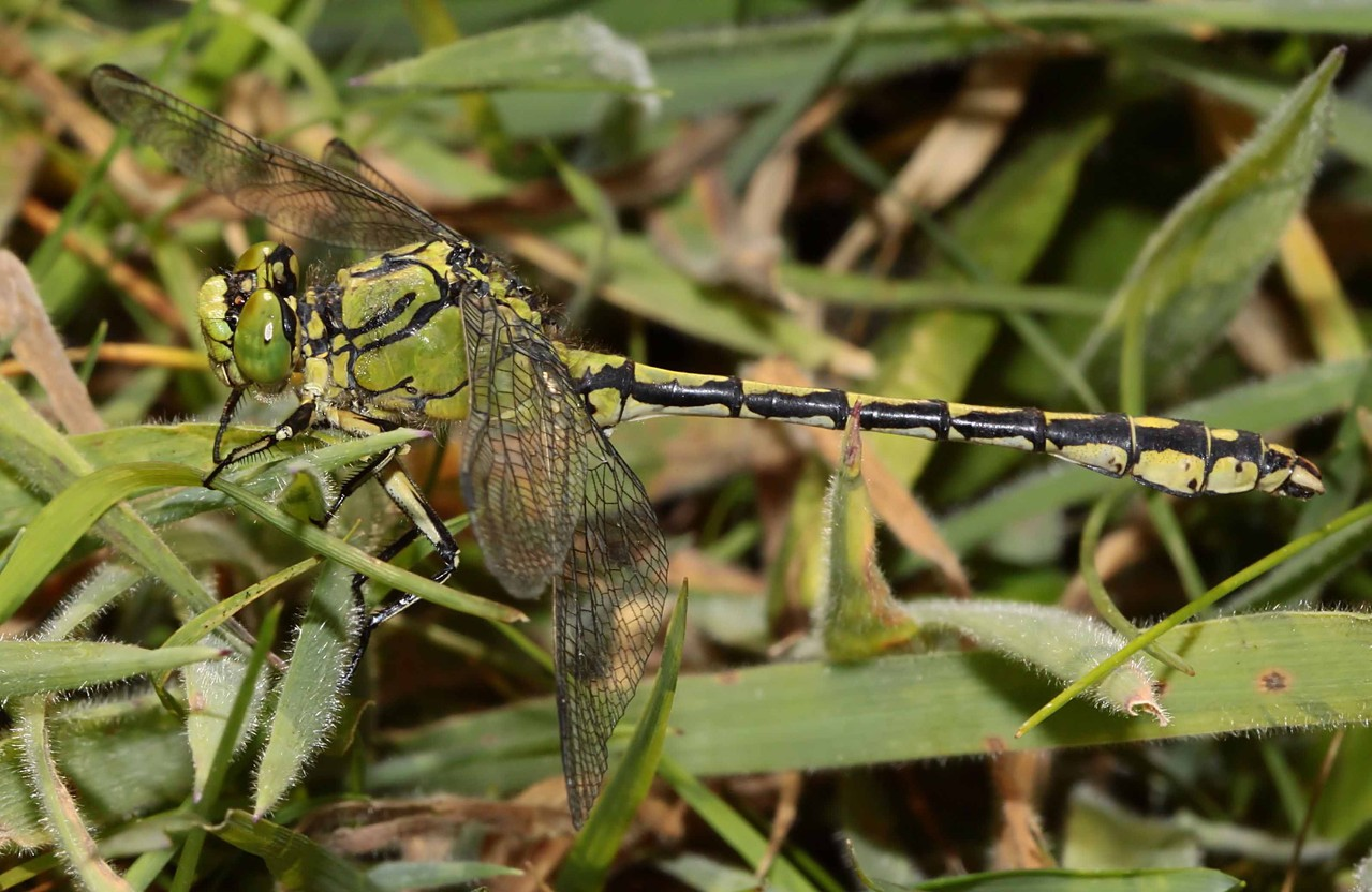 Grüne Flussjungfer, Ophiogomphus cecilia, Männchen.