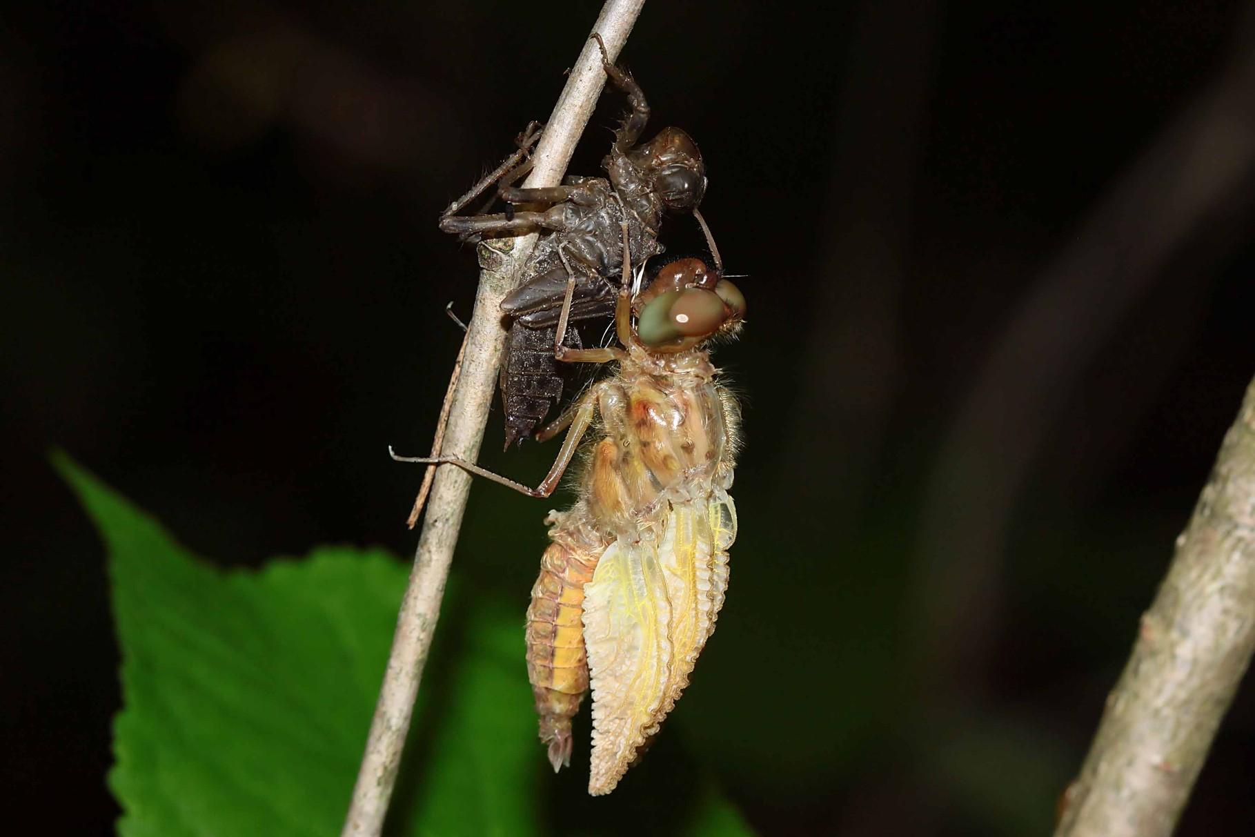 Spitzenfleck, Libellula fulva, aufpumpen der Flügel mit Hämolymphe.