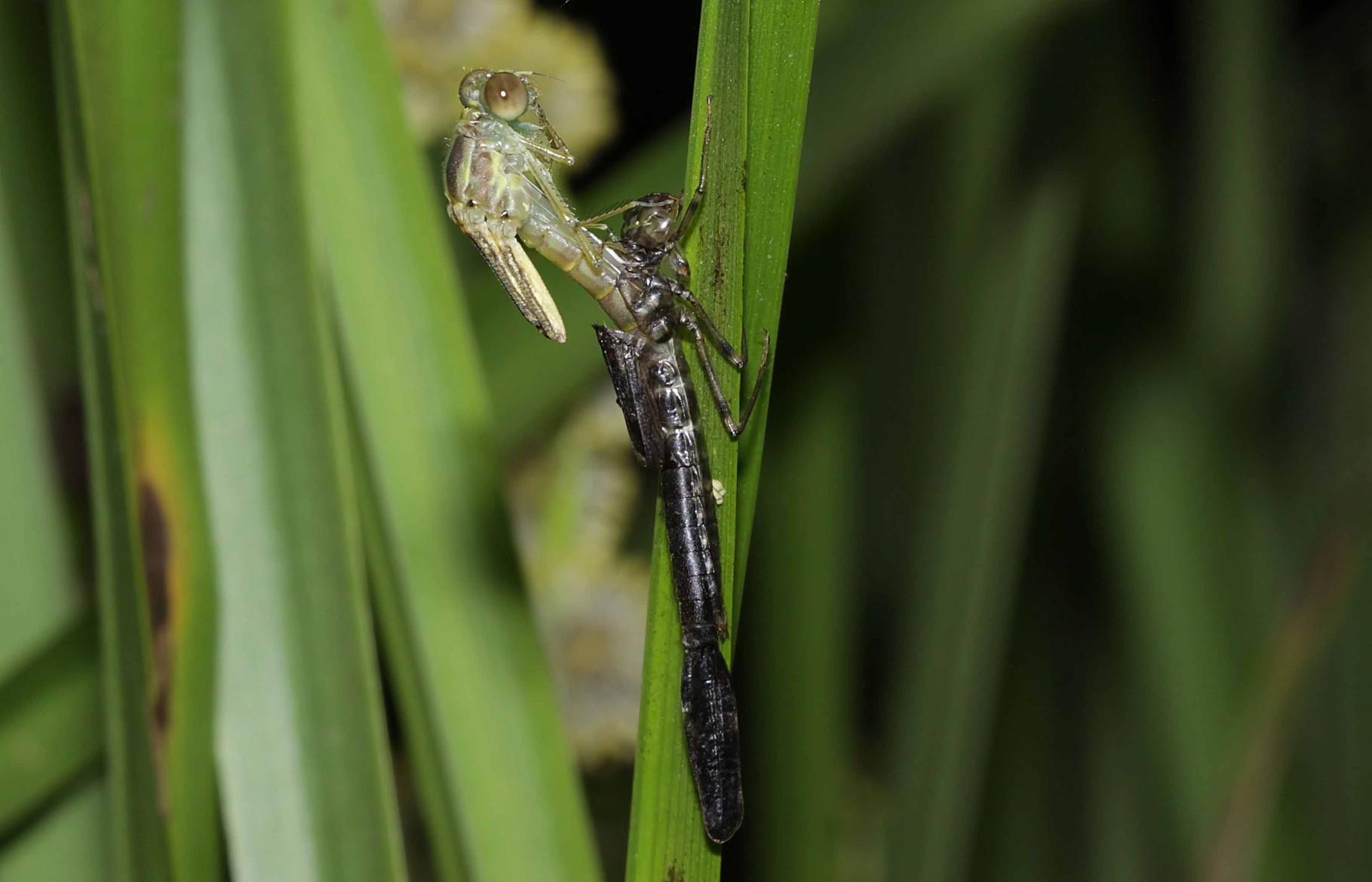 Gemeine Weidenjungfer, Chalcolestes viridis, das Tier schiebt sich nach oben aus der Larvenhaut heraus.