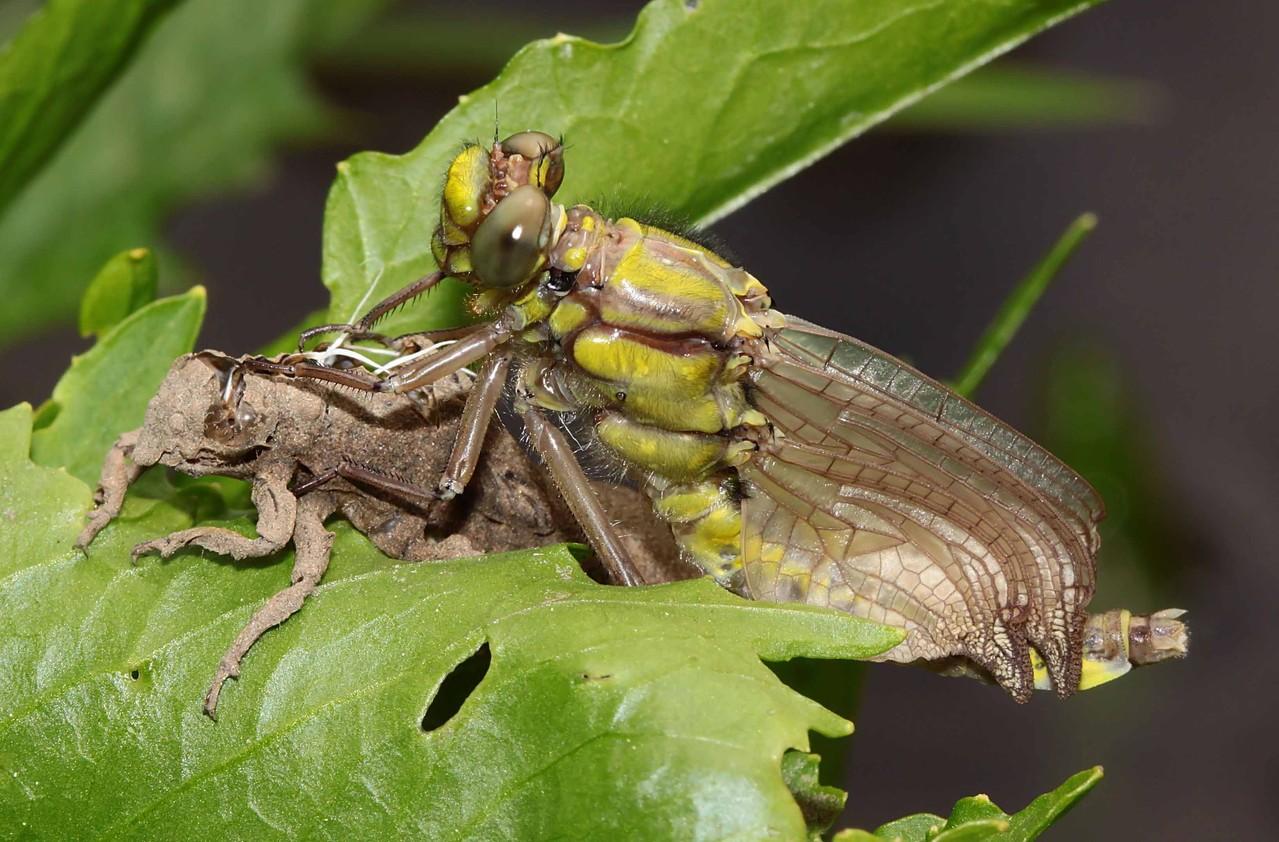 Gemeine Keiljungfer, Gomphus vulgatissimus, Weibchen beim Schlupf(2).