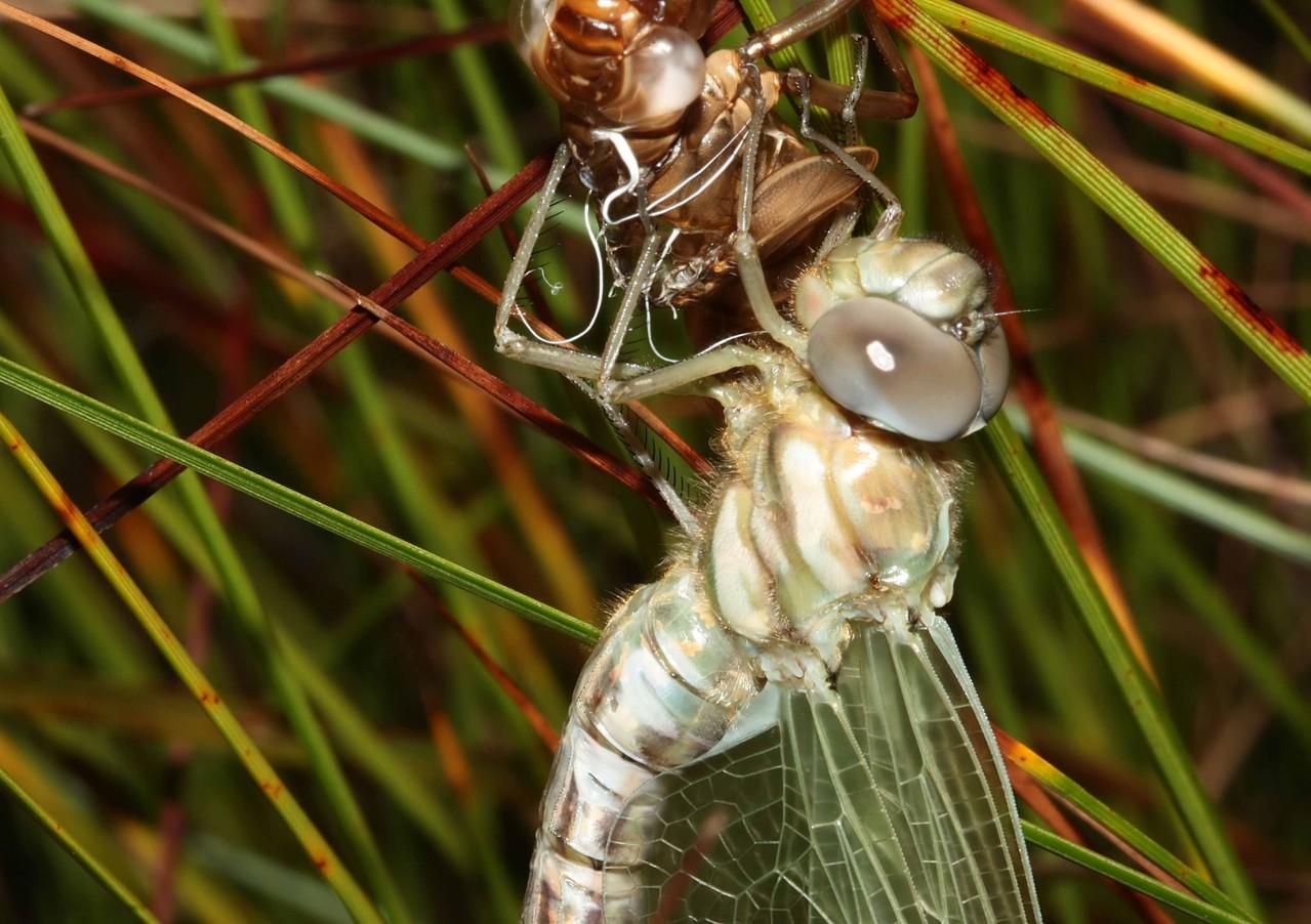 Hochmoor-Mosaikjungfer, Aeshna subarctica, Weibchen beim Schlupf (4).