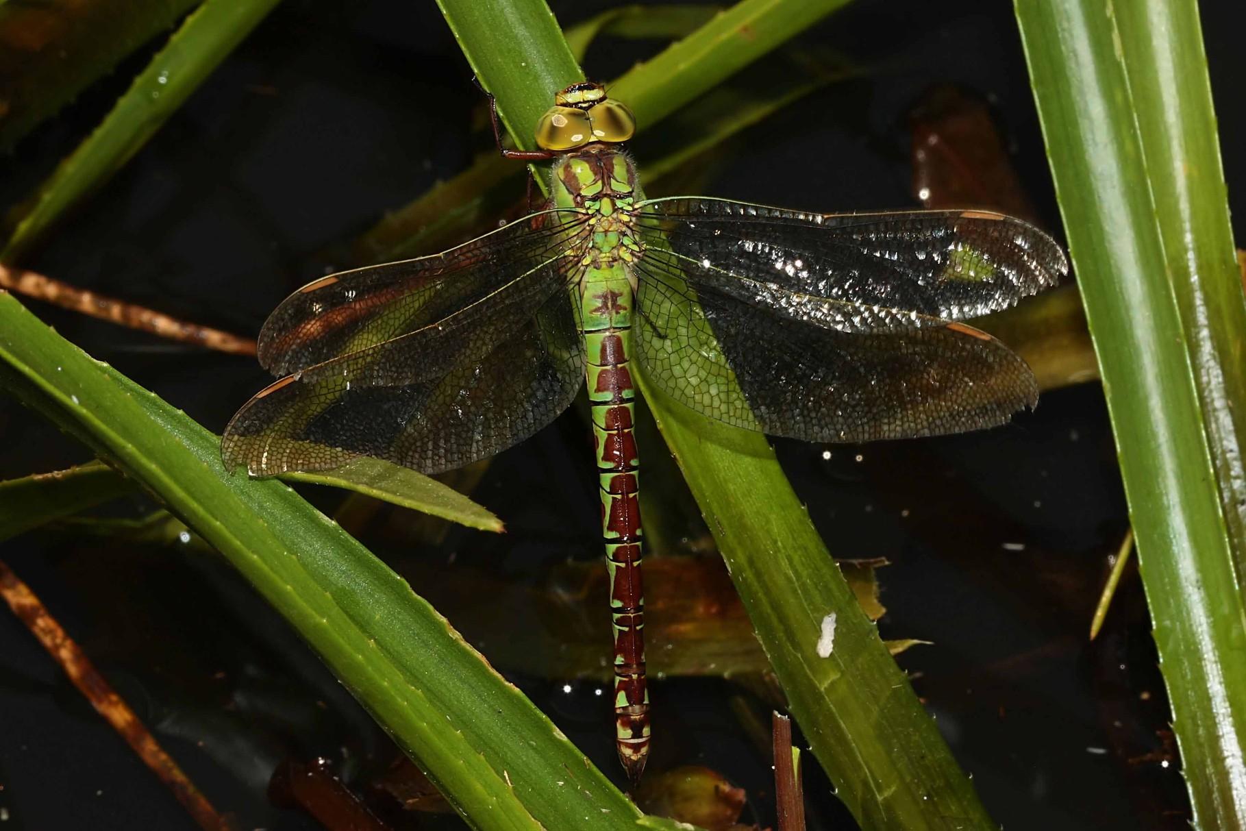 Grüne Mosaikjungfer, Aeshna viridis, Weibchen.
